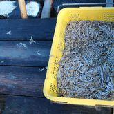 イケスの魚はキビナゴが餌だから臭味が少ない